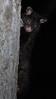 Young Mountain Brushtail Possum