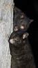 Mountain Brushtail Possum - mum and bub.