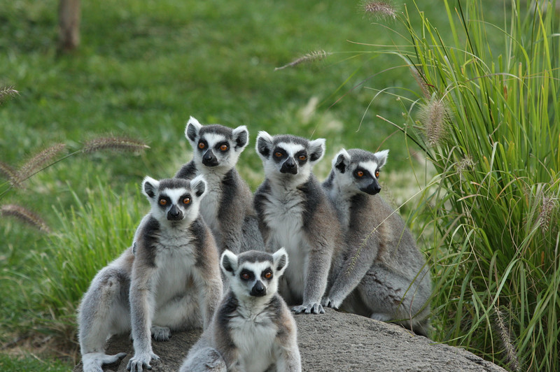 Ring-tailed lemur gang 1