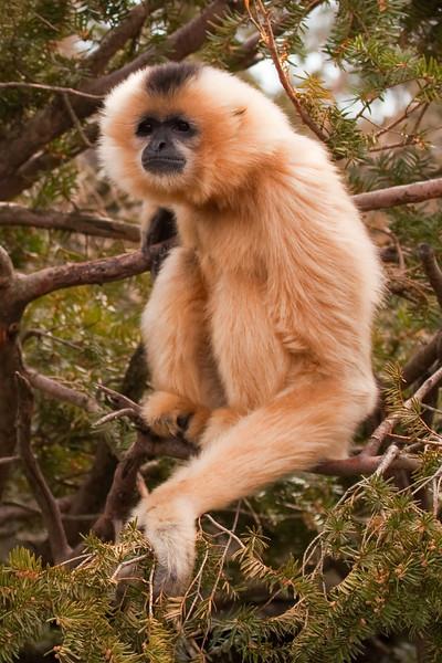 Buff-cheeked Gibbon 1