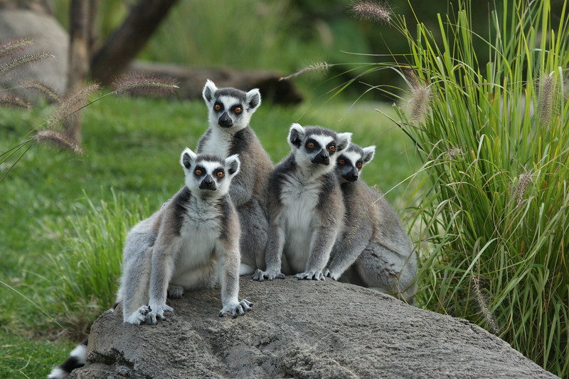 Ring-tailed lemur gang 2