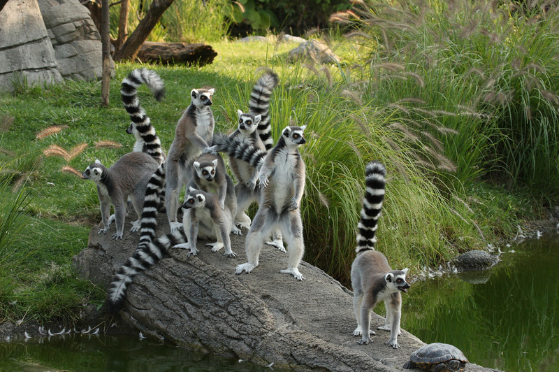 Ring-tailed lemur gang 3