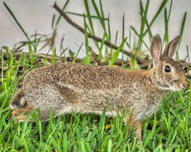 2019-06-23_ 0745 m1 300mm rabbit__6230078