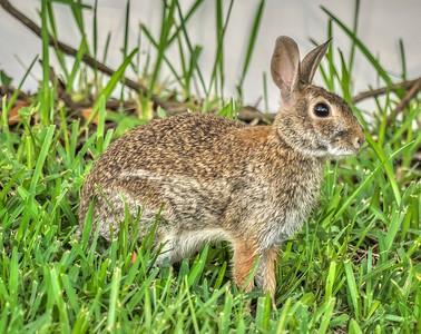 2019-06-23_ 0745 m1 300mm rabbit__6230079