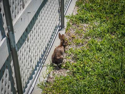 2017-08-19_P8192290_Local rabbit