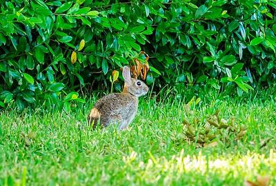 2019-06-04_m1 300mm ap iso640 meterspot  rabbit_Photographic