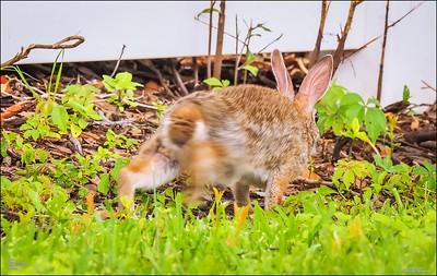 P5240104_rabbit
