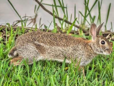 2019-06-23_ 0745 m1 300mm rabbit__6230077