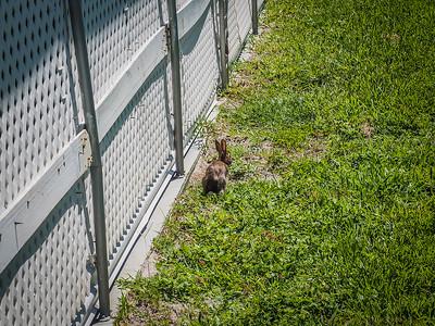 2017-08-19_P8192292_Local rabbit