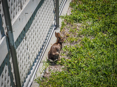 2017-08-19_P8192291_Local rabbit