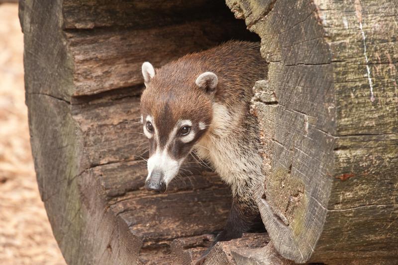 White-nosed Coati peeking out of a log