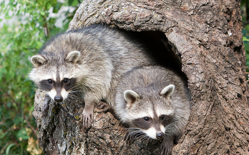 Baby Raccoons in a hollow tree