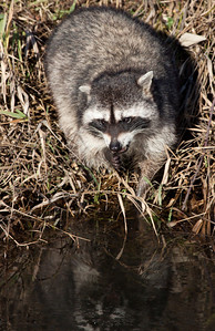 This poor raccoon had an injured back left paw. It was still managing to paw through some water to find some small meals to eat. Hopefully this little guy/girl makes a full recovery. Seen at Ridgefield National Wildlife Refuge.  Print size 5 x 7 $14.00 USD 8 x 10 $20.00 USD 8 x 12 $20.00 USD 11 x 14 $28.00 USD 12 x 18 $35.00 USD 16 x 20 $50.00 USD