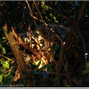 2013-02-18...Racoon in my back yard...©PhotosRUs200