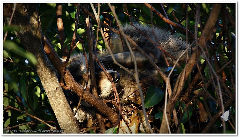 Feb 18,2013_IMG_7488_Racoon back yard