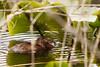 Muskrat at Hazel Wolf Wetlands
