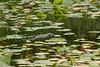 Muskrat in Juanita Bay Park