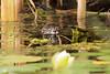 Muskrat in Seattle Arboretum