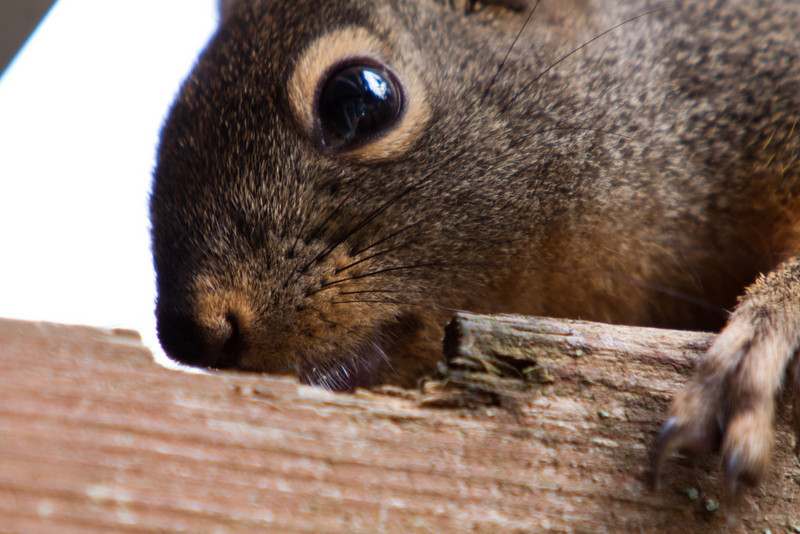 The adorable Douglas Squirrel is chewing on our deck :)