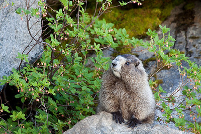 A female marmot seen in Mt. Rainier National Park in August 2011  Print size 5 x 7 $14.00 USD 8 x 10 $20.00 USD 8 x 12 $20.00 USD 11 x 14 $28.00 USD 12 x 18 $35.00 USD 16 x 20 $50.00 USD