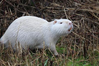 "Name: Coypus, river rat, or ""nutria"" Kingdom: Animalia Phylum: Chordata Class: Mammalia Order: Rodentia Family: Myocastoridae Genus: Myocastor Species: M. coypus  Print size 5 x 7 $14.00 USD 8 x 10 $20.00 USD 8 x 12 $20.00 USD 11 x 14 $28.00 USD 12 x 18 $35.00 USD 16 x 20 $50.00 USD"