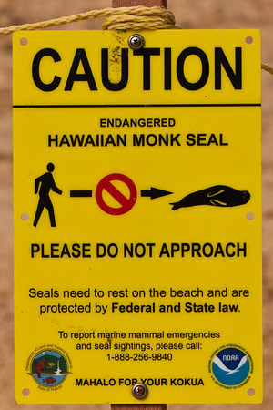 Monk Seal, Kauai, August, 2011