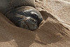Endangered Hawaiian Monk Seal napping after the night in the ocean, August 29th, 2011<br /> RK30