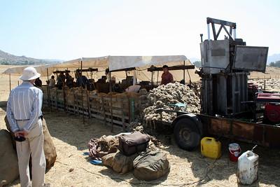 Sheep shearing, 11 Sep 2011