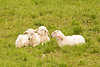 Lambs in the Pasture, Iowa County, Wisconsin
