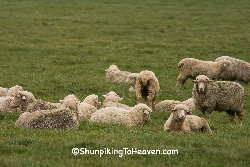 Sheep in the Pasture, Wood County, Wisconsin