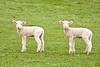 Lambs in Pasture, Dane County, Wisconsin