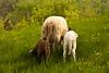 Ewe with Two Lambs, Iowa County, Wisconsin