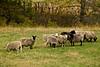 Sheep in the Pasture, La Crosse County, Wisconsin