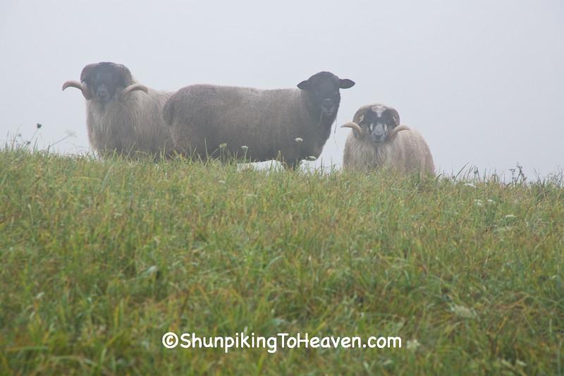 Scottish Blackfaced Sheep in the Fog, Richland County, Wisconsin