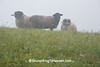 Scottish Blackfaced Sheep in the Foggy Meadow, Richland County, Wisconsin
