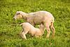 """Breakfast Time"", Ewe with Lamb, Sauk County, Wisconsin"