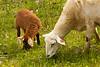 Ewe and Lamb Grazing, Iowa County, Wisconsin