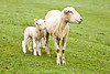 Lambs with Mother in Pasture, Dane County, Wisconsin