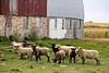 Sheep in the Barnyard, Monroe County, Wisconsin