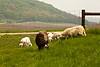 Sheep in the Pasture, Iowa County, Wisconsin