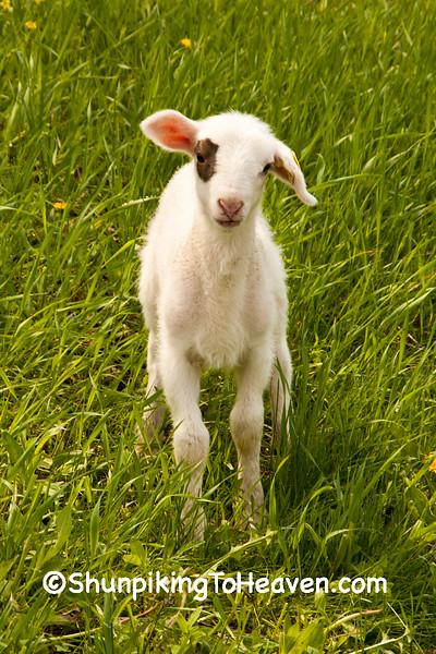 Lamb in the Pasture, Iowa County, Wisconsin