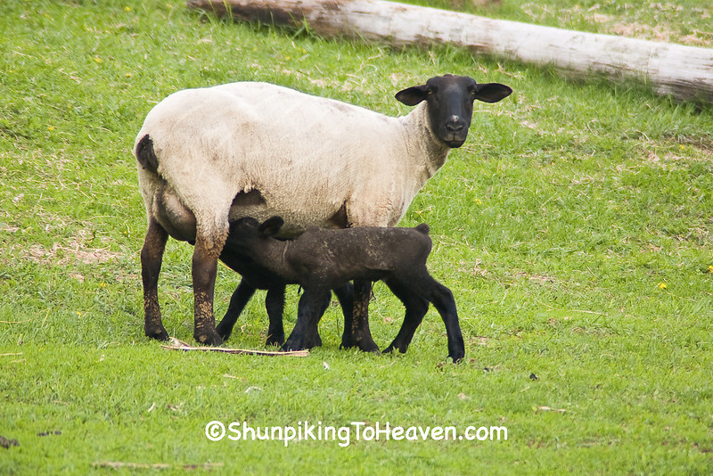 Black-faced Sheep with Lambs, Dane County, Wisconsin