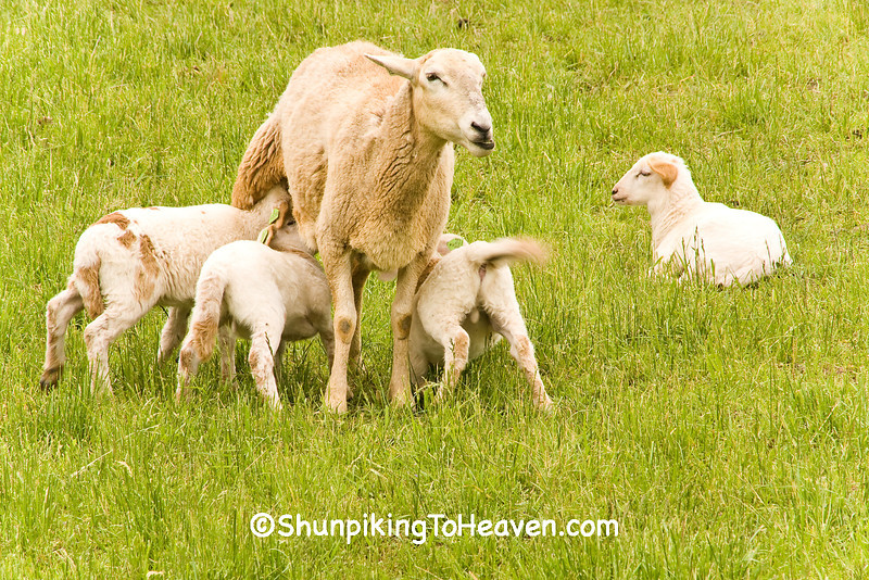Ewe with Lambs, Iowa County, Wisconsin