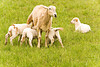 Ewe with Lambs, Iowa County, Wisconsin