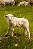 Lamb in Spring Pasture, Iowa County, Wisconsin