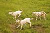 Leaping Lambs, Iowa County, Wisconsin