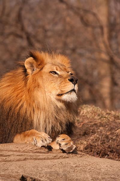 African LIon - Juma