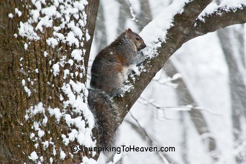 Gray Squirrel, Dane County, Wisconsin