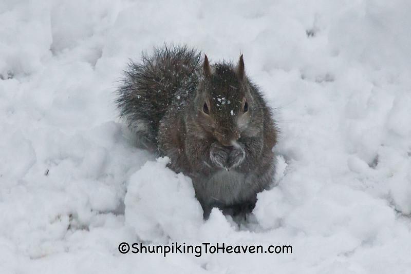 Gray Squirrel, Dane County, Wisconsin