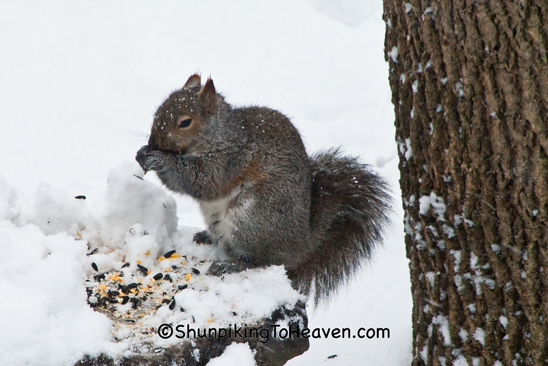 Squirrel in Snow, Dane County, Wisconsin